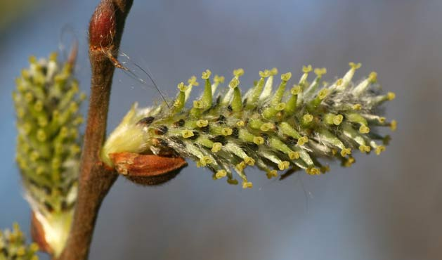 Salix Alba (Salgueiro) - Getty Images