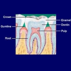 Anatomia do dente - Foto: Getty Images